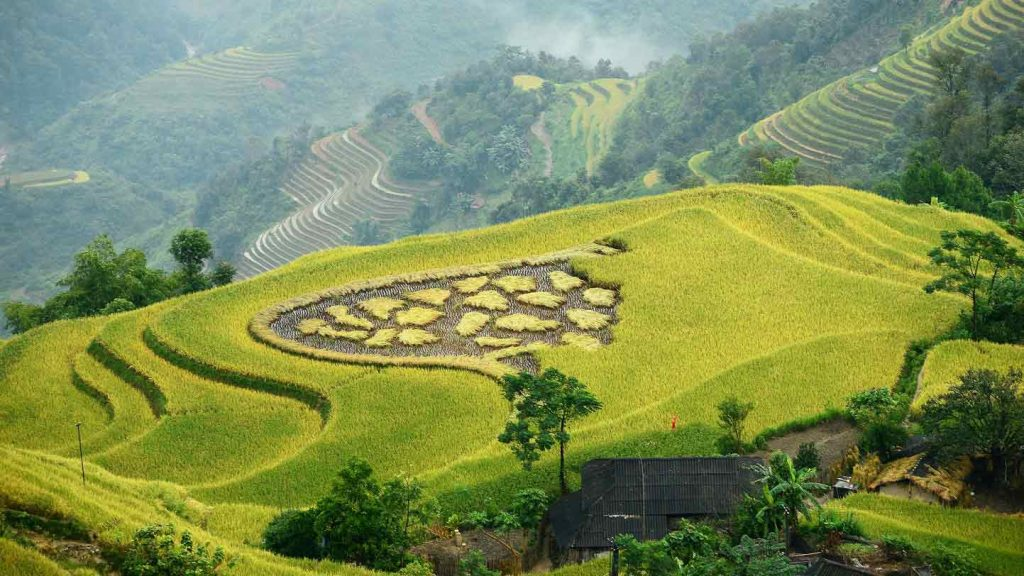 blossoming in northern Vietnam - planted fields