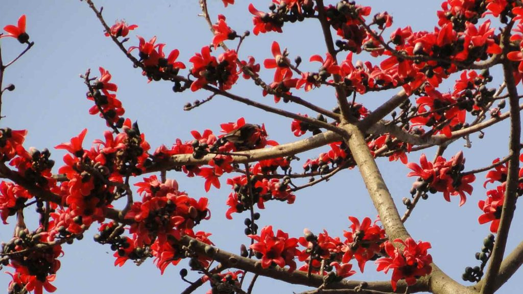 red silk cotton blossoming in northern vietnam